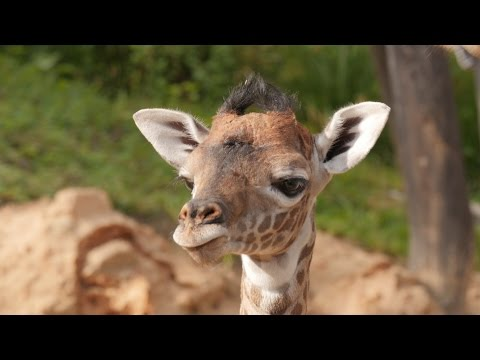 Thumbnail: Baby Giraffe Gigi Makes Her Debut!