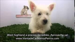 Venta De Cachorros Perros De Raza West Highland Terrier Criadero Spaceanimals