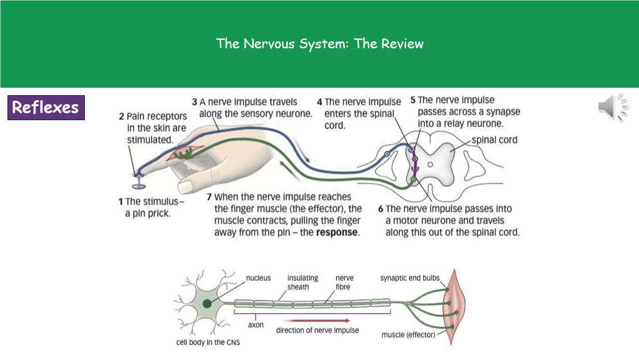 B1 7 the nervous system higher tier summary youtube b1 7 the nervous system higher tier summary ccuart Choice Image