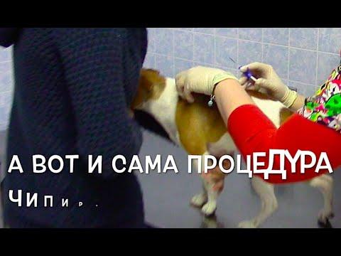 Сколько стоит чипирование собаки и животных? Клиника Бемби Москва. Как чипируют собак?