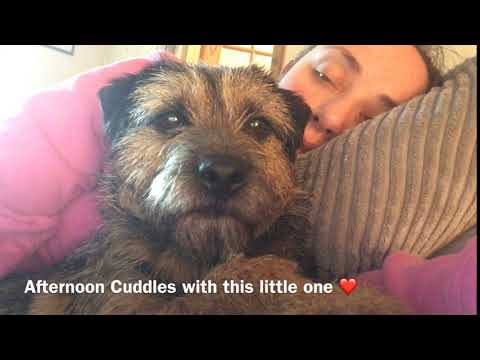 ❤️ AFTERNOON CUDDLES | CUTE BORDER TERRIER ❤️