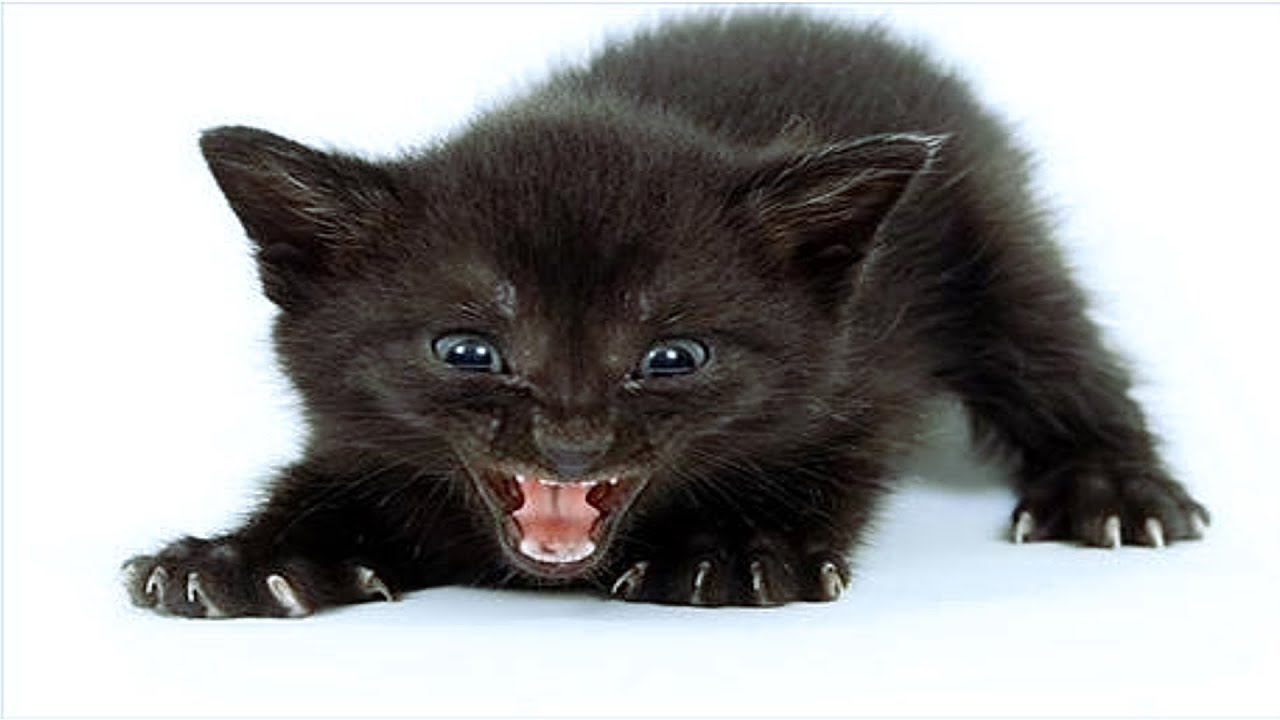 25  Adorable Angry Kitten