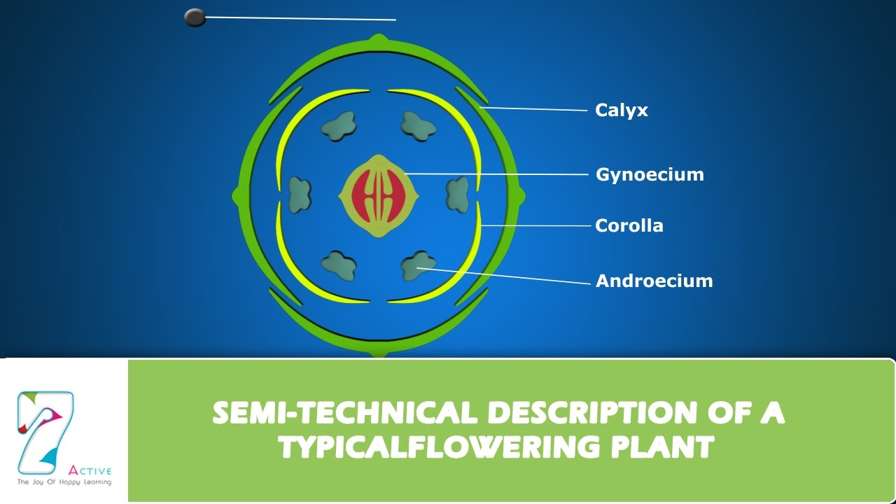 Semi technical description of a typical flowering plant youtube semi technical description of a typical flowering plant ccuart Gallery