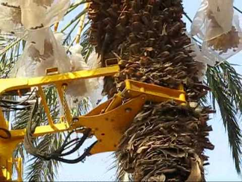 Harvesting Medjool Dates By Shaking In The Dead Sea Valley