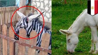 Download Video Kebun binatang di Mesir cat keledai jadi zebra - TomoNews MP3 3GP MP4