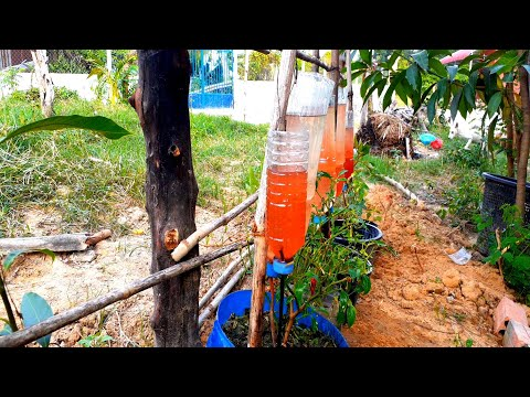Pastic Botte Drip Water Irrigation System Very Simple . ( How TO Use MOG ( Cho Lin Si ) Green Gold