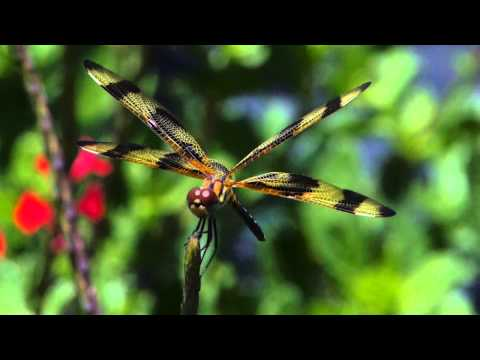 Halloween Pennant Dragonfly at Garden Center in South Florida