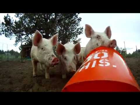 SUMMER CRUSH :: pigs eating cucumber pulp and peels