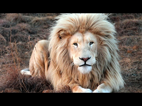 Thumbnail: King Lion Shows Off All Its Beauty