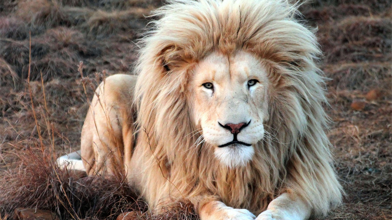 King Lion Shows Off All Its Beauty