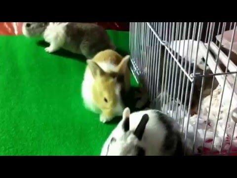 กระต่าย แคระ VS ชูการ์ ไรเดอร์