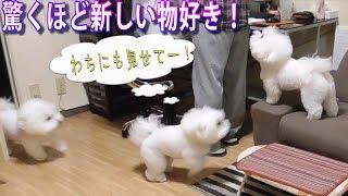 驚くほど新しい物好きな犬!ビションフリーゼ