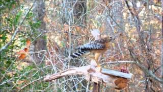 Hawk Feeding At East Fork Feeder