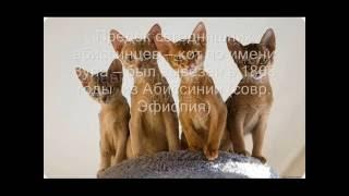 Породы котов.Абиссинская кошка