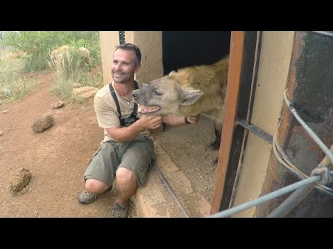 Do Hyenas Laugh?? | The Lion Whisperer