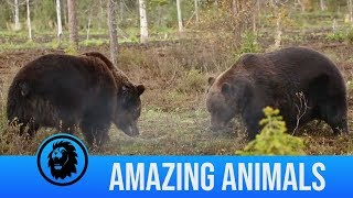 Intense bear fight caught on camera and more wild encounters | Amazing Animals