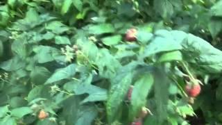 Собираем осеннюю малину в Польше