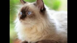 Гималайские кошки! :-)! О уходе, характере кошки вы можете узнать в описание