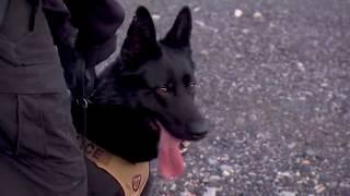 Собаки из K9. Тренинг в K9 США.