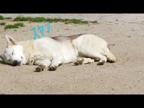 【閲覧注意】寝ている狼犬が襲われる瞬間!!