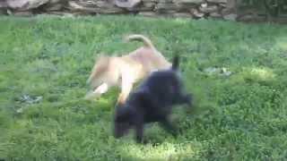 Pembroke Welsh Corgi Mix Puppies For Sale