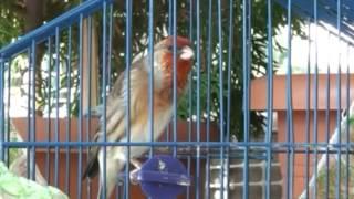 """Burung """"Goldfinch Mule"""" Gacor"""