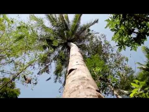 Le sucre de coco - un sucre sain redécouvert à Bali