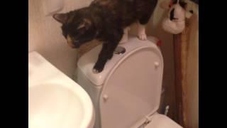 Кошка падает в унитаз