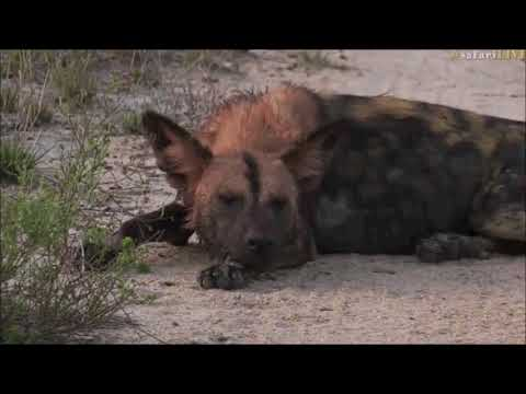 Safari Live  Wild Dog's on drive this morning with Tristan Oct 29, 2017