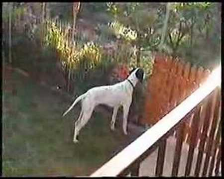 atos -english pointer 6 mounth old