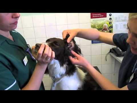 How-to-apply-ear-drops-to-your-dogs-ears-vetsure