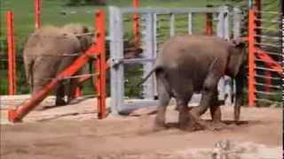 Janu the elephant enjoys first dip in pool at Noah's Ark Zoo Farm