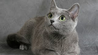 Русская голубая кошка - умна изящна и красива