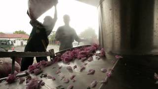 Enio Bonchev - 2012 Rose oil production.avi