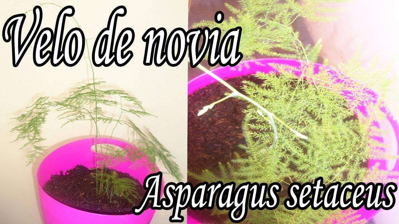 2f484f7930 Transplante y cuidados velo de novia o Asparagus setaceus - YouTube