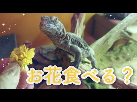 お花とトゲオアガマ【ショートムービー】