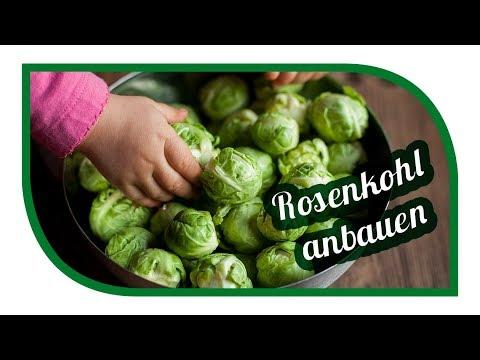 Rosenkohl erfolgreich anbauen 👩🏽🌾 Unsere Lieblingssorte  Idemar ❄️ Wintergemüse