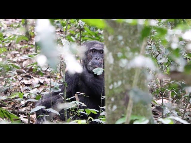 Chimpansee trekking in Oeganda