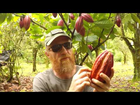 Making Chocolate: Cacao Tree To Chocolate Bar