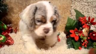 A Cute Chocolate Merle Cocker Spaniel Puppy Playing