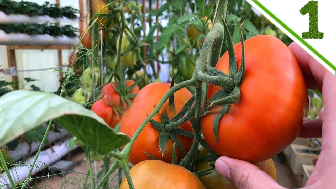 طريقة كيفية زراعة الطماطم بدون تربة في البيت وعلي اسطح المنازل زراعة مائية جزء رقم 1 Youtube Tomato Vegetables Food