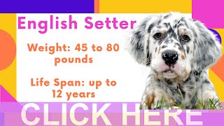 English Setter Breed Information And Personality