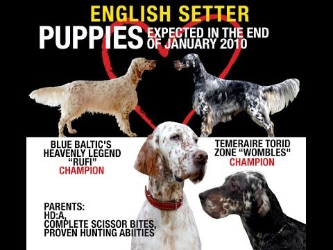 English Setter Adventure's puppies
