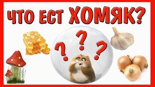 видео Что едят хомяки в домашних условиях