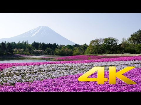 Fuji Shibazakura festival - Yamanashi - 富士芝桜まつり - 4K Ultra HD