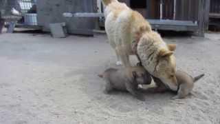 生後3週間になった山陰柴犬の子犬とコウ母さん。