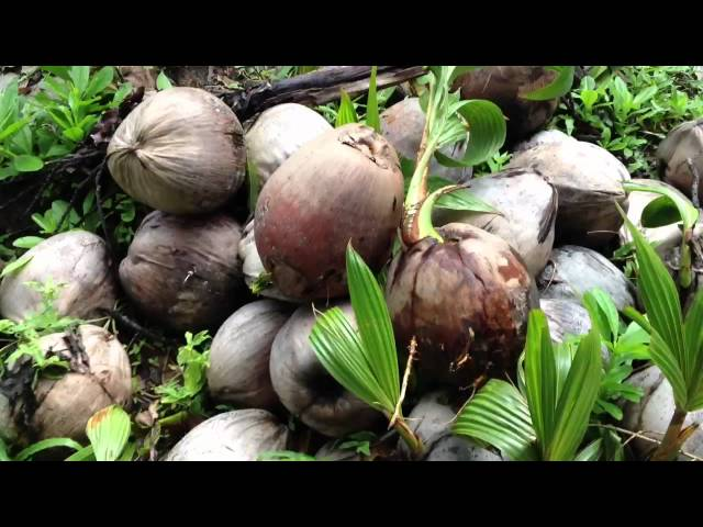 How to Sprout Your Own Coconuts