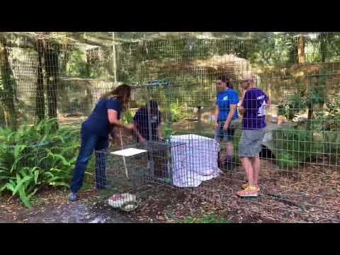 Moving King Tut Savannah Cat to a new enclosure at Big Cat Rescue