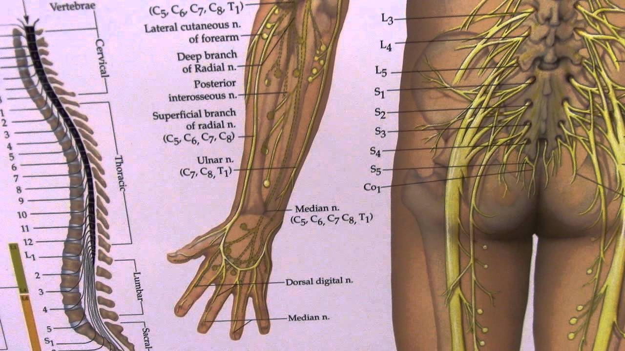 Hand Nerves Diagram Porsche 996 Wiring 2003 Arm And Numbness Sciatica Peripheral Explained Youtube