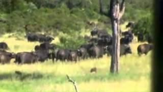 Battle At Kruger 2 - Buffalo vs Lion